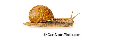 Snail isolated on white.