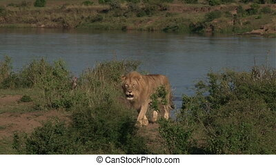 Lion Panthera leo male walking beside river edge, waiting...