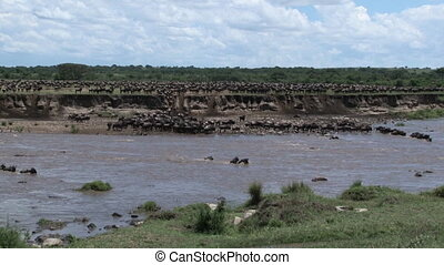 Wildebeest herd crossing the Mara - Wildebeest Conneathus...
