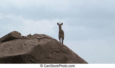 Klipspringer Oreotragus oreotragus, standing on rock
