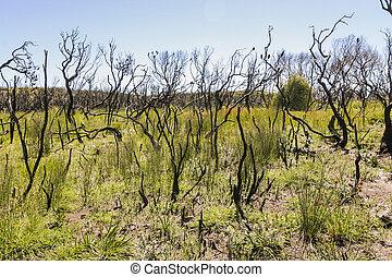Landscape after bushfire. Booderee National Park. NSW....