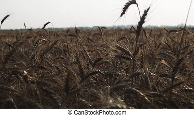 A field with wheat