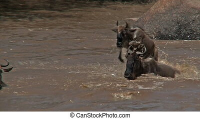 Wildebeests crossing the Mara River - Wildebeests...