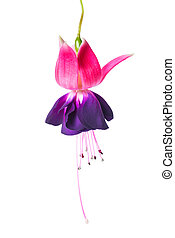 blooming beautiful single flower of violet and red fuchsia is isolated on white background, `Voodoo`, closeup