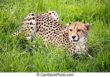 Cheetah in Grass - Wild african cheetah lying in the grass