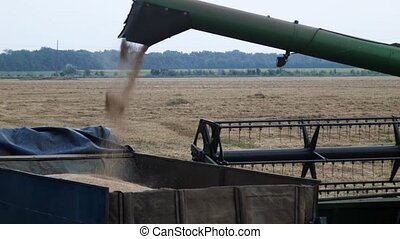 wheat harvesting close up