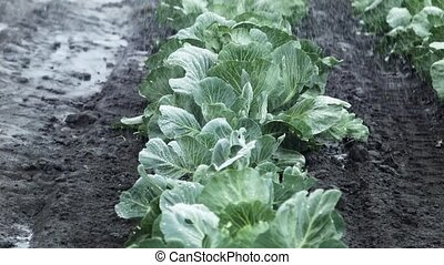 field irrigation of cabbage - rain drops on cabbage leafs