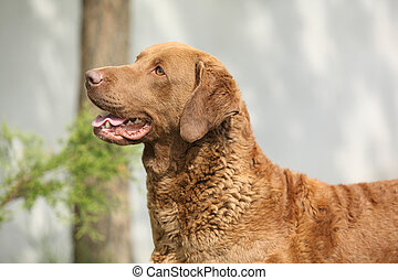 Bautiful Chesapeake bay retriever in the garden