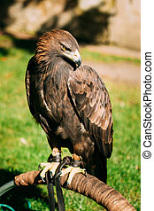 Sitting Golden Eagle Haliaeetus albicilla Wild bird