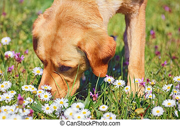 Sniffing Dog  - Dog Sniffing Chamomiles FLowers on the Field