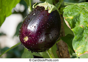 egg plant growing in the garden