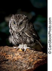 Screech owl in captivity. - An indoor studio image of a...
