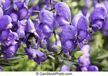 Aconite slipper with bumblebee - The Bumble bee flew into...