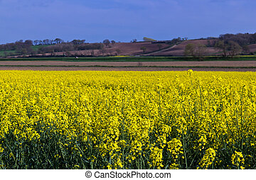 Yellow rapeseed canolo field - Yellow rapeseed field...