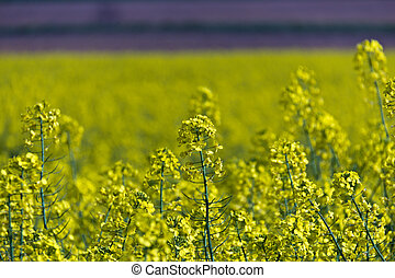 Yellow rapeseed flowers - selective focus - Yellow rapeseed...