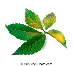 Yellowed grapes leaf Parthenocissus quinquefolia foliage...