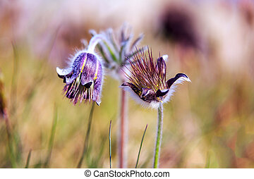 Pasque Flower blooming on spring meadow - A group of...