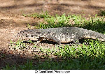 Monitor lizard in Lumphini Park in central Bangkok, Thailand