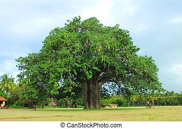 baobab - africa baobab with a leaf