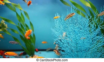 blue aquarium background calm fish swim grass saver video -...