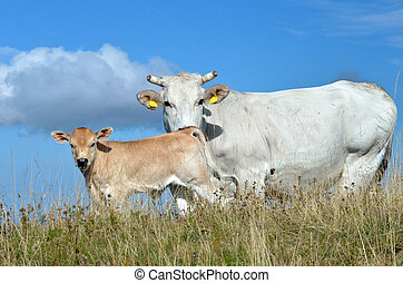 cow with calf - grazing cows with calf on the hill