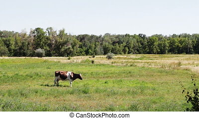 Cows grazing in the field - Beautiful gray and white cows...