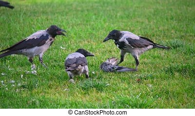 Hooded crow (Corvus cornix, also called hoodiecrow tear out...