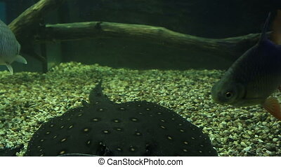 Carassius and ocellate river stingray. Beautifully decorated...