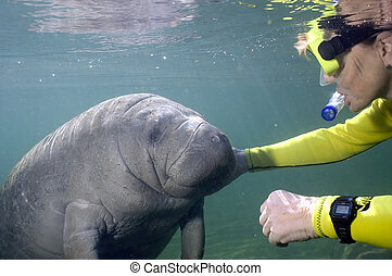 Female meets manatee - A female diver greets and scratches...