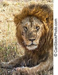 male Lion - A male lion Panthera leo on the Maasai Mara...