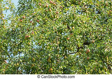 A Pear tree bearings many fruit during summer season in...