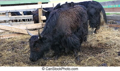 Yak is long haired bovid found throughout the Himalaya...