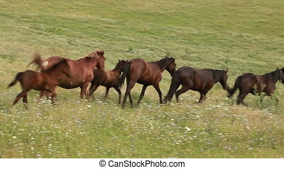 Herd of horses grazing in a meadow - The horse is grazed in...