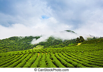 Mae Salong tea plantation, Chiang Rai Province, Northern...