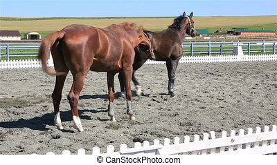 Trakehner breed and Polish mongrel horse in paddock -...