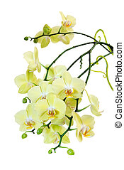 Yellow Blossoming Orchid - Many flowers of yellow...