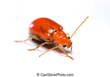 Close up Cucurbit leaf beetle, Aulacophora indica on a white...