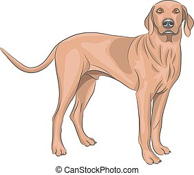 Vector. Hunting dog. - Brown hunting dog breeds of Vizsla.