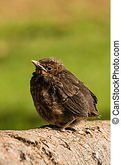 closeup of young common blackbird basking