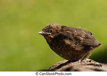 young blackbird basking on tree