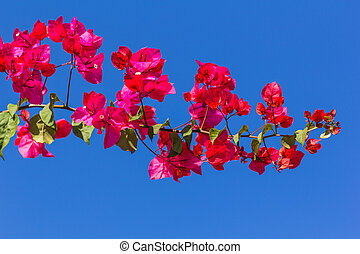 Cor-de-rosa, bougainvillea, flor, em, azul, céu,