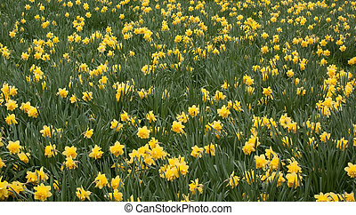 An image showing springtime dafs