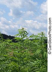 Marijuana, campo