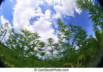 campo,  marijuana