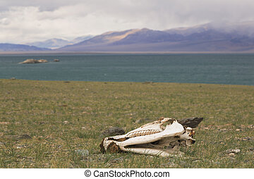 Skull of a horse on a lake Uureg Nuur in Mongolia