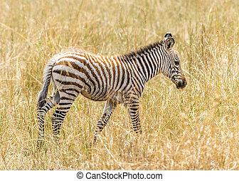 baby zebra - The baby of grevys zebra Equus grevyi,...