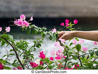 Cor-de-rosa, canal, flor, tom, foco, mão, fundo, dois,...