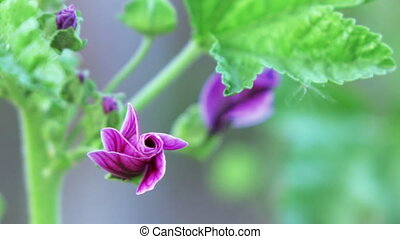 Mallow longstanding - Growing in garden perennial flowers...