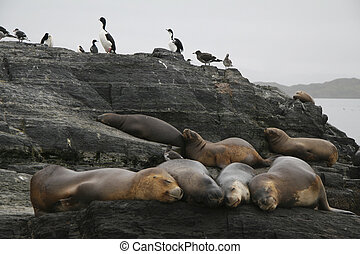 Ushuaia - Sealions and cormorants in the Beagle Channel in...