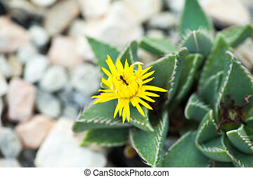 Close up of Faucaria longidens, Aizoaceae